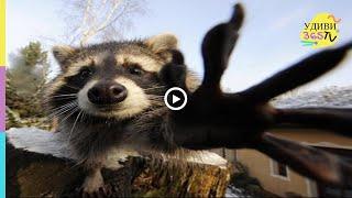 ПРИКОЛЫ С ЕНОТАМИ. Смеялся целый час. Funny raccoons