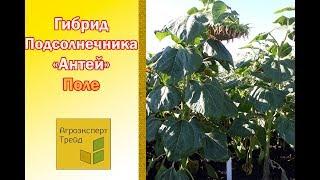 ВИДЕО -  🌻 Подсолнечник Антей 🌻.  Гибрид под Гранстар