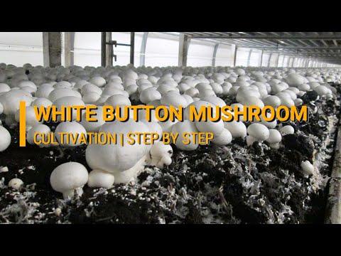 Cultivation of White Button Mushroom (Agaricus bisporus) - Directorate of  Mushroom Research, Solan