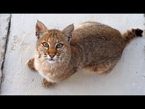 Beautiful Bobcat in our yard as our Cat runs in the house!