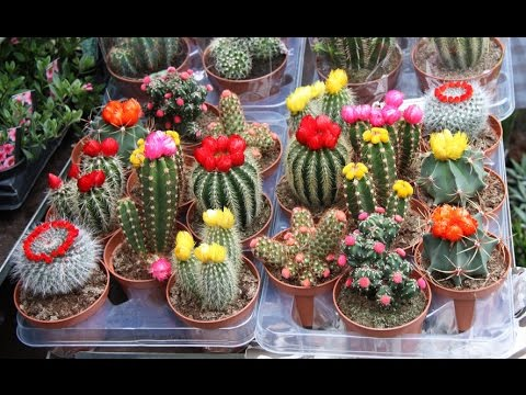 How to sow cactus seeds