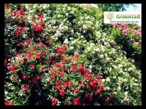 Нетрадиционные опоры для плетистых роз
