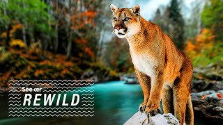 Could These Bridges Keep Mountain Lions Safe?