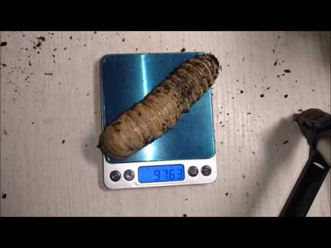 Goliath Beetle Larvae