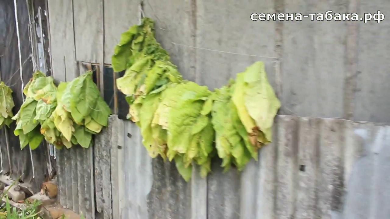 Первая уборка табачного листа в сезоне 2019. Собираем урожай.