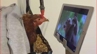 Смешные животные.  Курица смотрит телевизор.