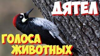Голоса птиц и звуки животных. Звуки природы слушать онлайн ДЯТЕЛ