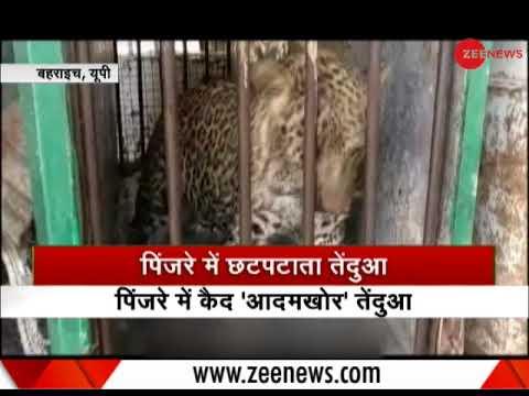 Uttar Pradesh: Forest officials captured a leopard in Bahraich district