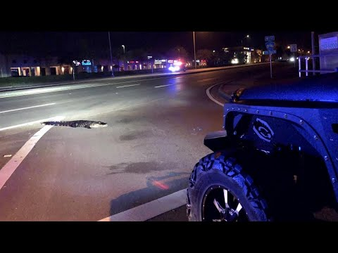 Sleepwalking Alligator Forces Police Stop Traffic in the Middle of the Night