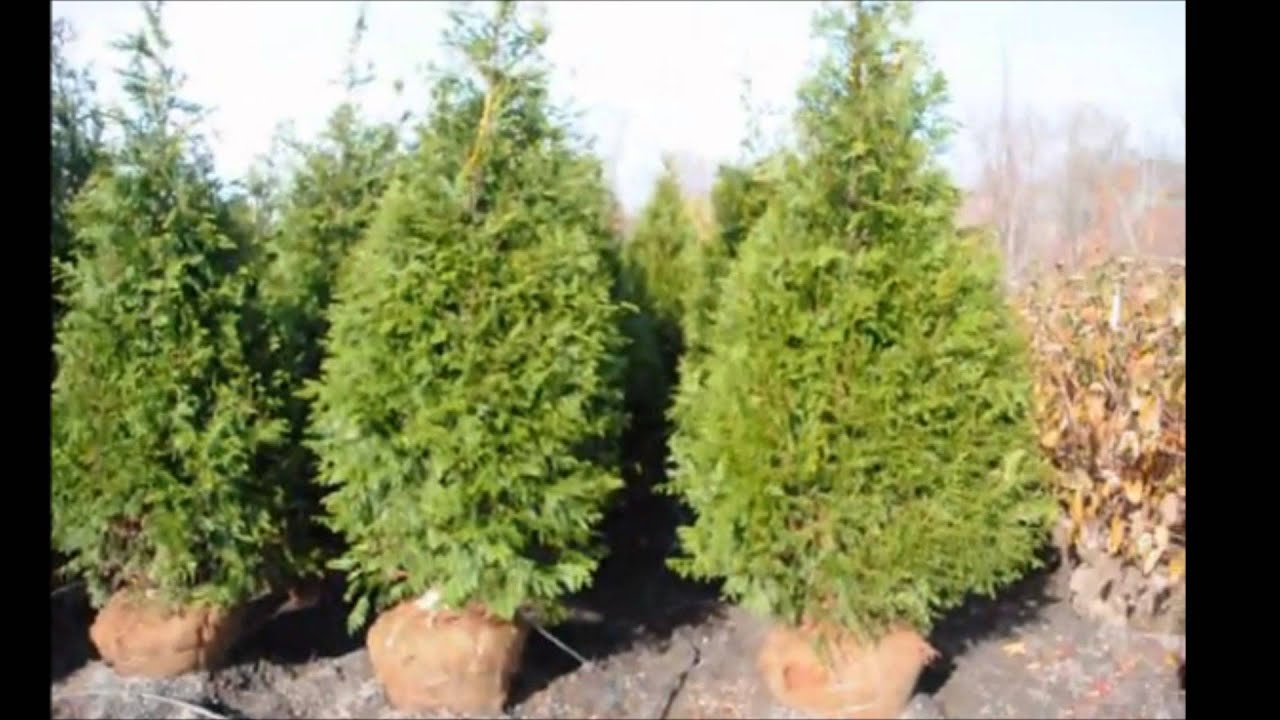 The Best Fast Growing Evergreen Screening Trees Youtube