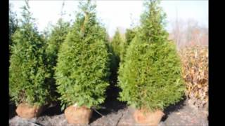 The Best Fast Growing Evergreen Screening Trees