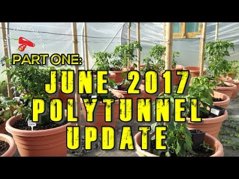 Chilli Polytunnel Vlog Update June 2017