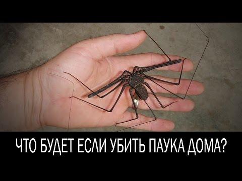 Что будет если убить паука дома