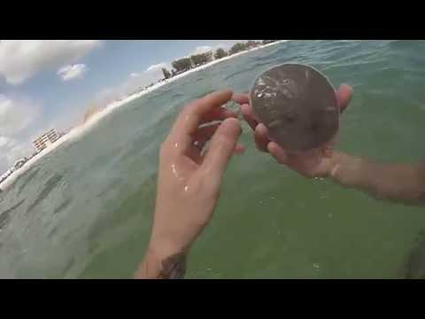 Treasure Island Beach - Diving For HUGE LIVE Sand Dollars (Tampa Bay, Florida)