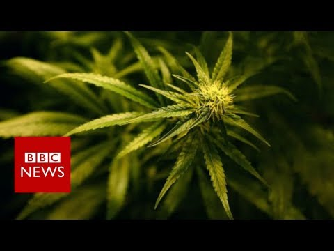 Should Canadas pot convicts get amnesty?  BBC News