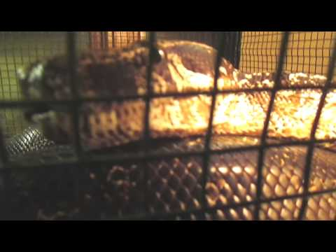 Lies About Big Constrictor Snakes !! (Read Video Info)
