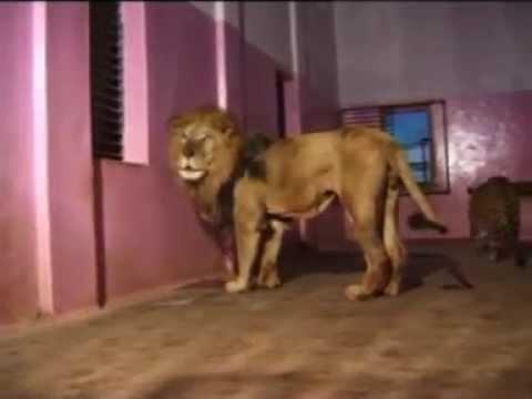 Hemal  The Lion