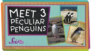 Meet 3 Peculiar Penguins
