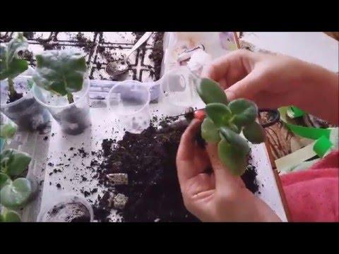 Фиалка комнатная: уход и размножение. Комнатные растения