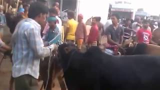 Gabtali Gorur Bazar_গাবতলী গরুর বাজারের লাইভ ভিডিও_না দেখলে মিস করবেন