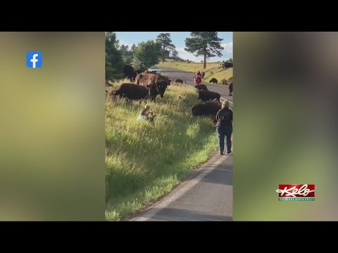 Woman-attacked-by-a-buffalo-at-Custer-State-Park