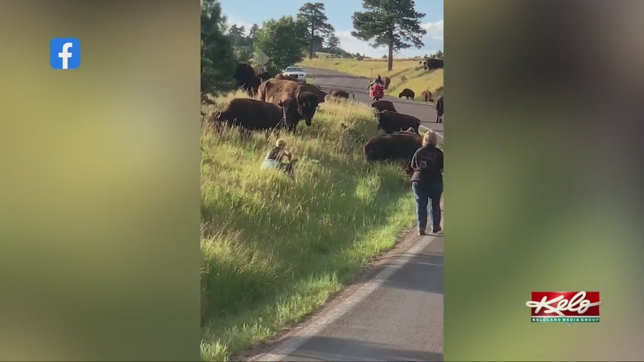 Download Woman attacked by a buffalo at Custer State Park