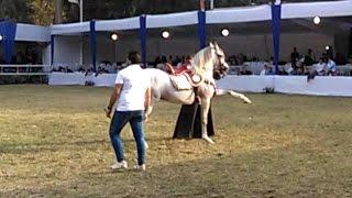 """بالفيديو:  شاهد رقص الخيل العربي بمهرجان """"جمال الخيول"""" بمحطة الزهراء"""