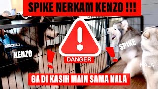 SPIKE nerkam KENZO karena NALA - VLOG ( MALAMUTE FIGHT !!! )