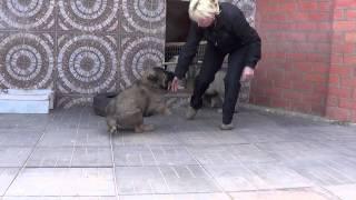 Щенки кавказская овчарка www.r-risk.ru +79262205603 Татьяна Ягодкина