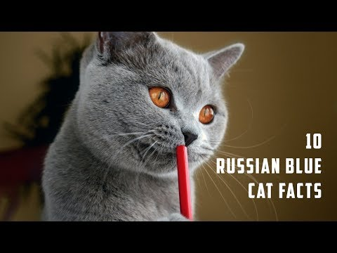 10 Russian Blue Cat Facts | Animals Unlimited | Sameer Gudhate