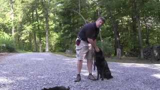 Roxy - Black German Shepherd Puppy Training Clemmons Nc
