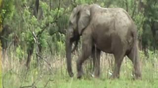 Dyrene i Afrika - dansk