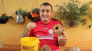 Como fazer o tratamento do Coco para Plantar