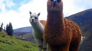 Лама животное(https://youtu.be/T8eB4B9rf_s #Семейство #лам и замечательный #ласковый #малыш!Ла́ма (лат. #Lama #glama) — южноамериканское млек..., 2016-09-01T06:30:01.000Z)
