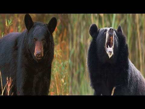 American Black Bear & Asiatic Black Bear - The Differences