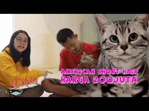 Dihargai 200 juta sama orang Arab - Kucing American Short Hair terbaik se-Asia Pasifik