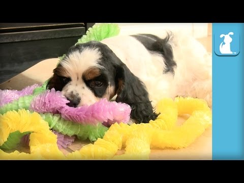 Silly Cocker Spaniel Puppies Throw Luau - Puppy Love