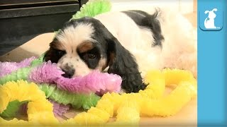 Silly Cocker Spaniel Puppies Throw Luau  Puppy Love