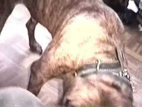 pitbull mixed with bullmastiff and rottweiler (R.I.P february 2003-december 15 2010)