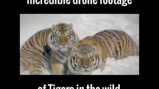 Incredible drone footage of tigers in the wild
