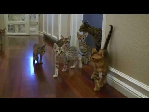 Savannah Kitten Breakout