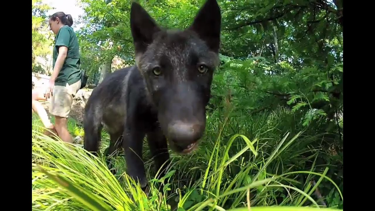 Animal Trainers Introduce New Wolf Pups Busch Gardens