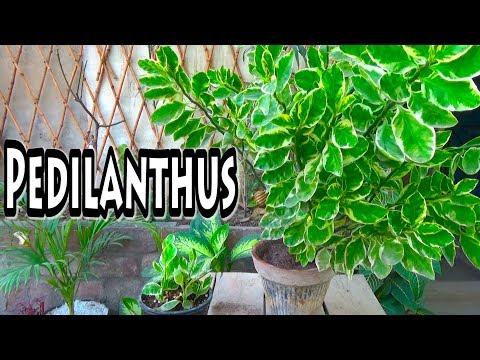 Pedilanthus Plant   Low Maintenance Plant   Devil's Backbone Plant (Urdu/hindi)