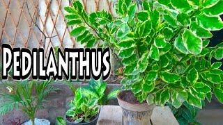 Pedilanthus Plant | Low Maintenance Plant | Devil's Backbone Plant (Urdu/hindi)
