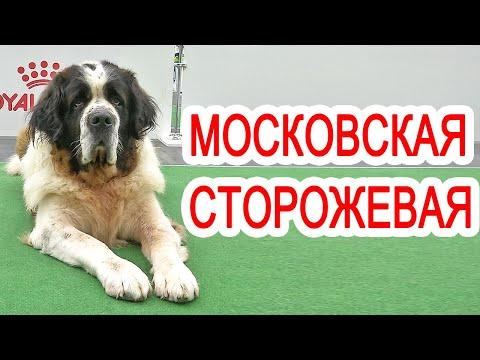 Московская сторожевая - самая спокойная сторожевая собака