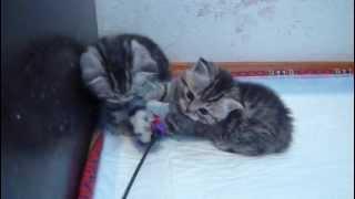 Купить шотландского котенка в питомнике Файна Киця.MOV
