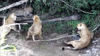 Три Львицы нападают на Огромного Леопарда HD