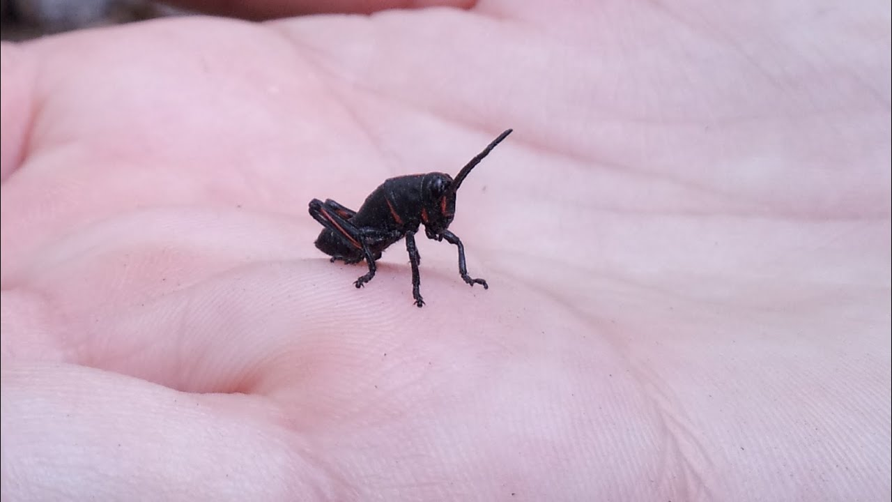 Lubber Grasshopper Babies Black And Red Super Cute