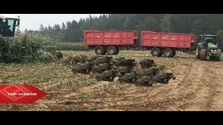 Divoká prasata se objevují z pole I Wild pigs appear from field