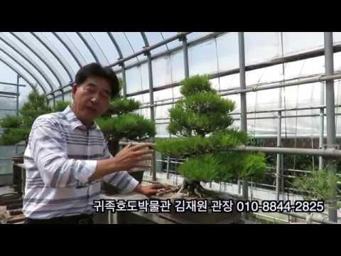 김재원 관장,소나무분재,분재관리,소나무분�